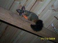 The possum, after it lost its home, being compensated with a few carrot pieces